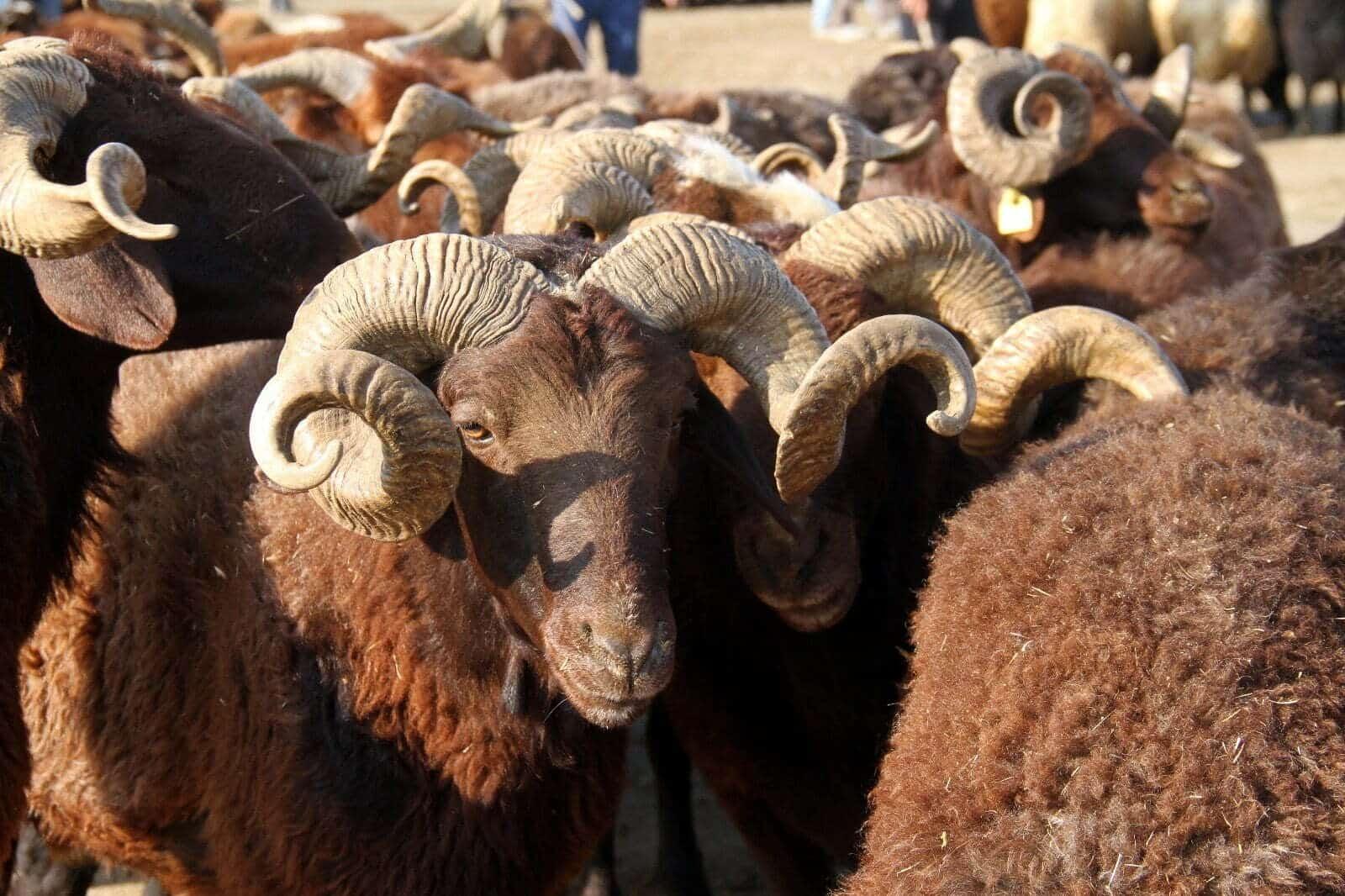Kurbanlık Hayvandan Koronavirüs Bulaşır Mı?